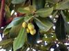 Pomme jacot ou Pomme d'accot. Mimusops coriacea.