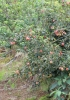 Pommier Malus domestica Borkh.