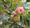 Malus domestica Borkh Pommier pomme