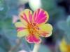 Portulaca grandiflora Hook