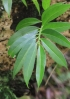 Procris pedunculata (J.R. Forst. et G. Forst.) Wedd.