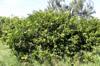 Prune malgache - Flacourtia indica Merr fruit La Réunion