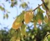Prunus dulcis (Mill.) Webb