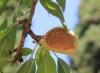 Amandier, Prunus dulcis.