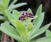 Psiadia anchusifolia (Poir.) Cordem.