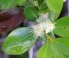 Psidium cattleianum Sabine