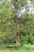 Psidium friedrichsthalianum (O.Berg) Nied
