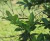 Psidium friedrichsthalianum, La coronille.