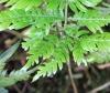Pteris scabra Bory ex Willd