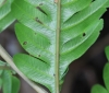 Pteris scabra Bory ex Willd.