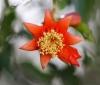 Fleur Punica granatum.