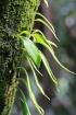 Pyrrosia lanceolata (L.) Farw.