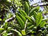 Pimenta dioica (L.) Merr