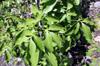 Feuilles du Quenettier. Fruit : quenette