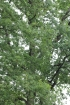 Quercus robur L, Chêne pédonculé