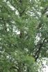 Quercus robur L