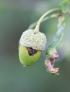 Quercus robur L Chêne pédonculé