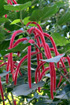 Fleurs Acalypha hispida