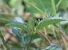 Stachytarpheta jamaicensis, Queue de rat, Épi bleu