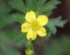 Ranunculus sericeus Poir