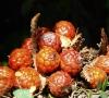 Raphia farinifera. Fruits.