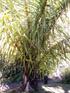 Raphia Moufia Palmier Raphia farinifera