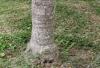 Ravenea glauca Jum. & H.Perrier