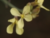 Raphanus raphanistrum. Fleur.