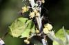 Ricin. Ricinus communis