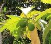 Artocarpus altilis (Parkinson) Fosberg var. seminiferus (Duss) Fournet