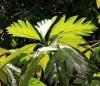 Rimier. Artocarpus altilis (Parkinson) Fosberg var. seminiferus (Duss) Fournet.