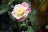 Rose de Bourbon Rosa x borboniana