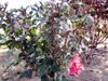Rose de Chine Hibiscus rosa sinensis