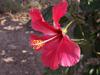 Hibiscus rosa-sinensis L