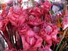 Rose de Porcelaine. Etlingera elatior