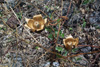 Merremia tuberosa (L.) Rendle.