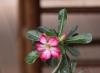 Rose du désert - Adenium. Plante succulente