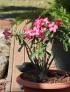Rose du désert -Adenium obesum.