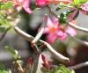 Adenium obesum Roem. & Schult Rose du désert