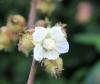 Rubus alceifolius Poir
