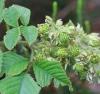 Rubus apetalus Poir