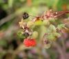 Rubus fraxinifolius Poir. Grosse framboise pays.