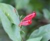 Ruellie à feuilles courtes