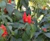 Ruellia chartacea (T. Anderson) Wassh