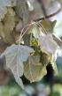 Ruizia cordata Cav Bois de senteur blanc