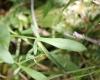 Rumex acetosella L. subsp. pyrenaicus.