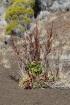 Rumex obtusifolius. Patience à feuilles obtuses.