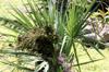 Fruit : Sabal minor (Jacq.) Pers. Palmetto nain ou Sabal nain.