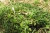 Saliette Psiadia retusa Plante endémique La Réunion
