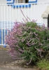 Salvia leucantha Cav.